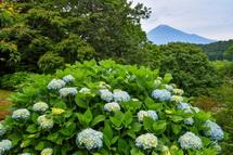 咲き始めたあじさいと富士山の風景