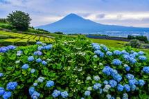 丘陵地の茶畑脇に咲くあじさいと富士山の風景
