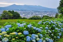 丘陵地の茶畑脇に咲くあじさいと愛鷹山方面の風景