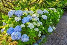 徐々に花が増える岩本山公園のあじさい