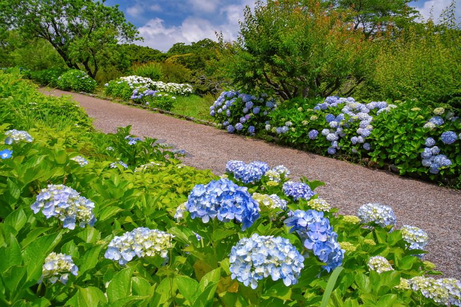 徐々に開花が進む岩本山公園のあじさい