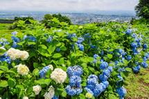 岩本山丘陵地のあじさいは見頃を過ぎてきた