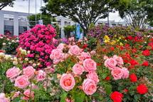 咲き誇る園内のバラ