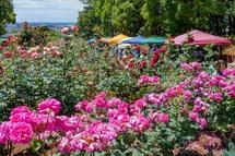 園内のバラが見頃