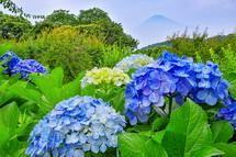 あじさいと富士山の風景