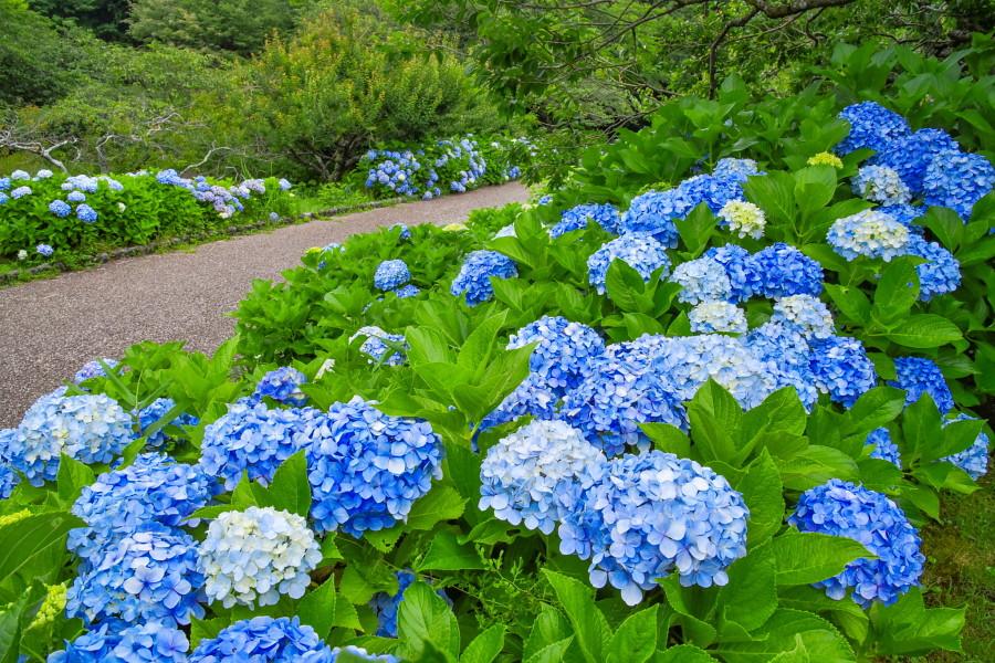 咲き誇る岩本山公園のあじさい