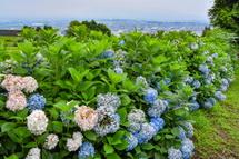 岩本山丘陵地のあじさいの花はほぼ終了