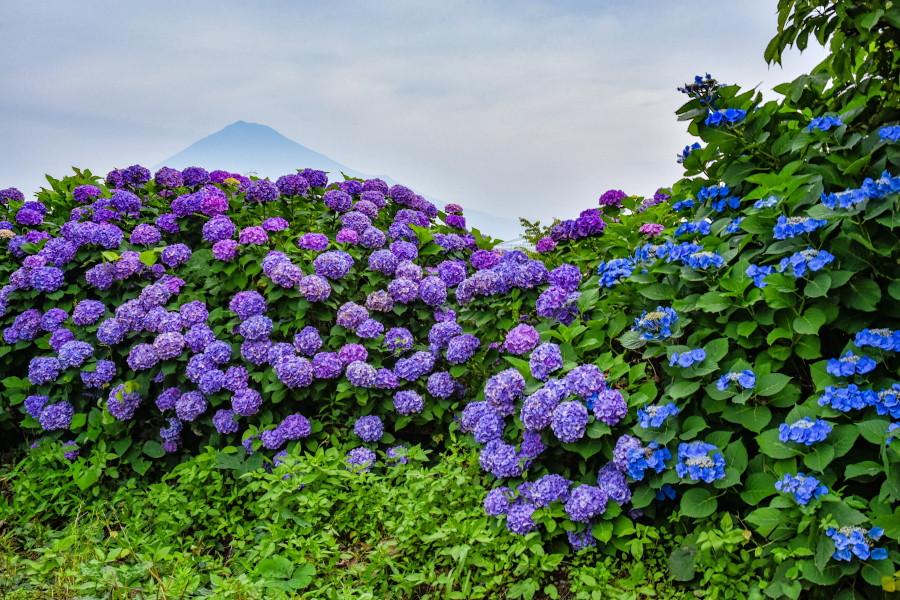 岩松中学校西側の雁堤に咲くあじさい