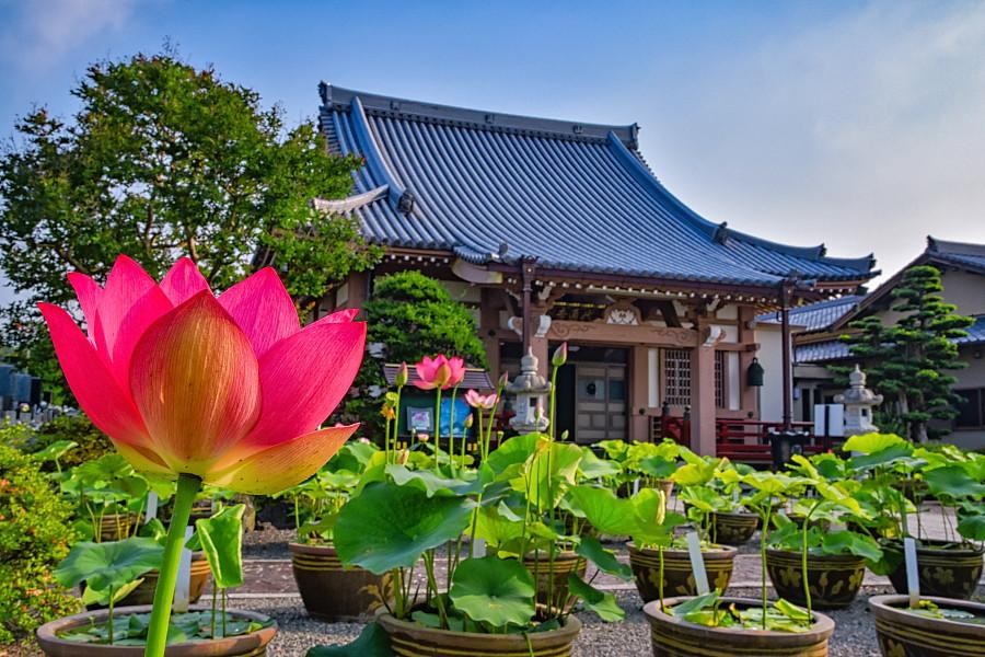 蓮が開花した代通寺