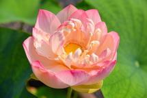 多彩な蓮の花