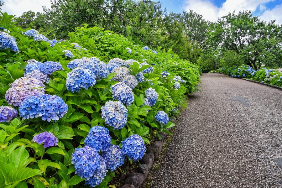 見頃を過ぎつつある岩本山公園のあじさい