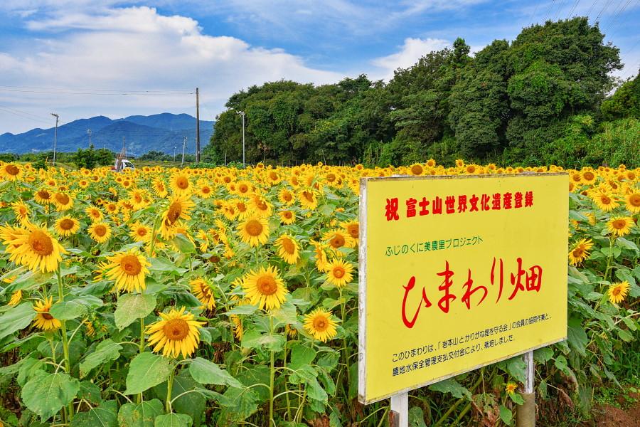 岩本山丘陵地の一角にあるひまわり畑