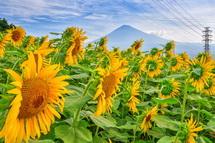 ひまわりと富士山の風景