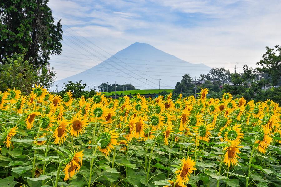 もう一つのひまわり畑と富士山の風景