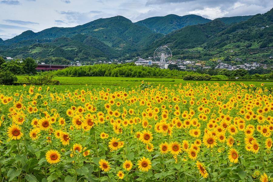 岩松中学校西側のひまわり畑