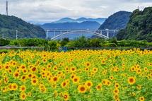 咲き誇るひまわりと新東名富士川橋の風景