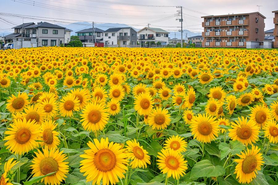 田子浦地区にあるひまわり畑