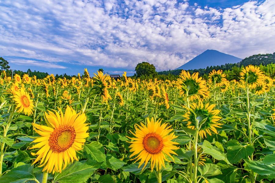 富士山とひまわりの風景