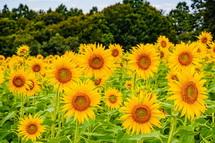 一面に咲き誇るひまわりの花々