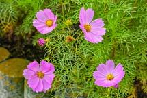 コスモスの花をアップ