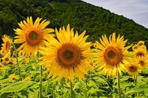 咲き誇るひまわりの花