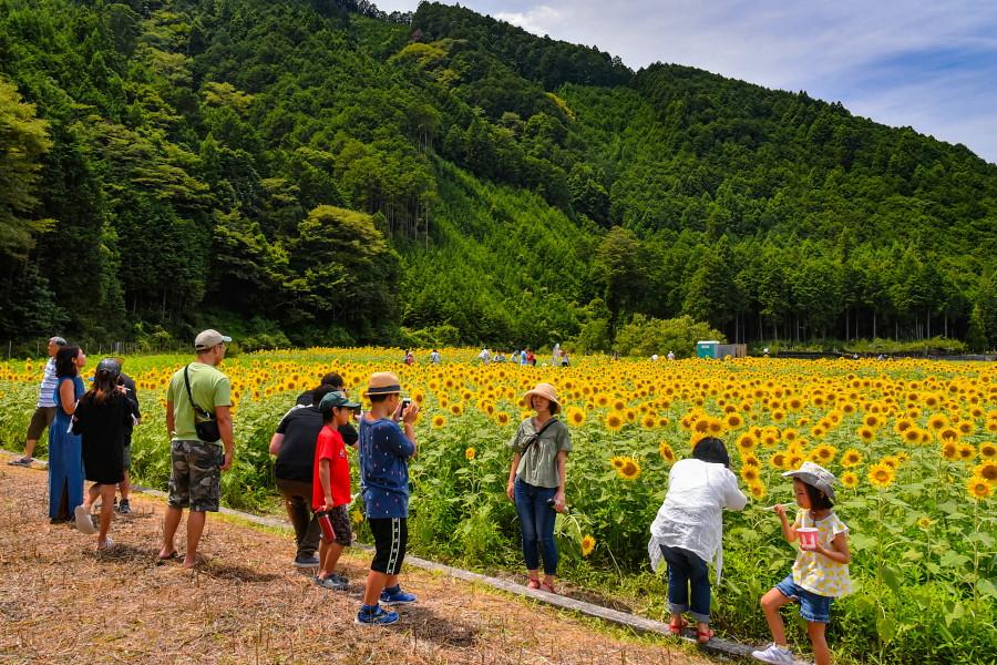 ひまわりの花を楽しむ人たち