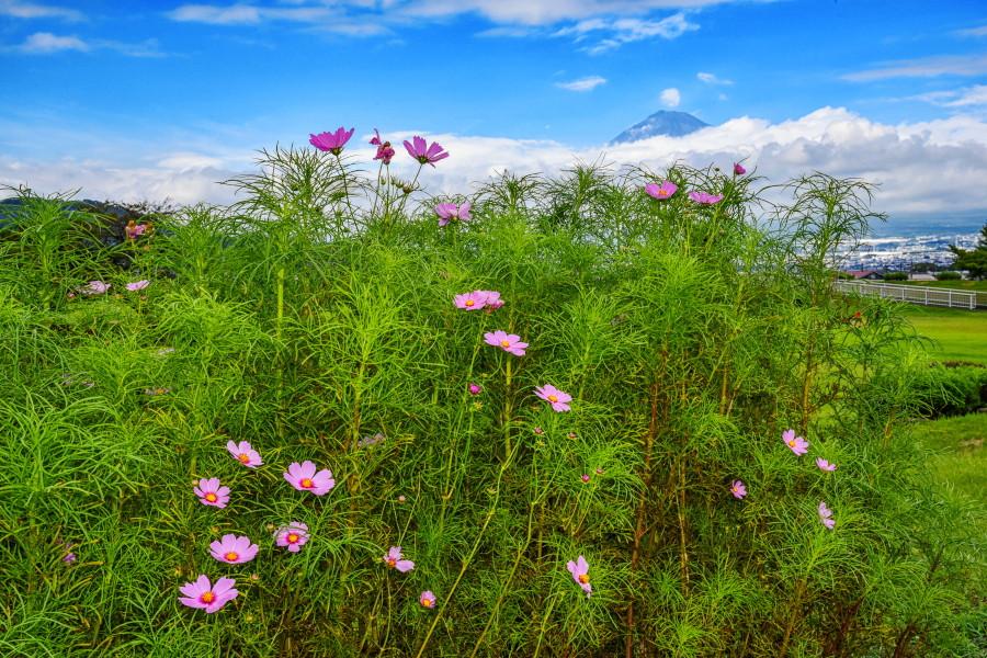 少し花開いたコスモスとチラッと富士山の風景