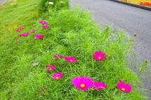 徐々に開花するコスモスの花々