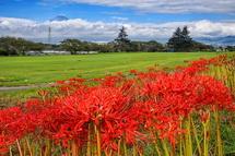 開花が進む彼岸花と富士山の風景