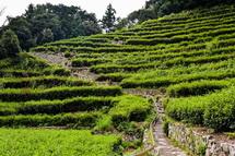 段々が美しい茶畑
