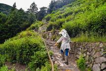 茶畑を登っていく