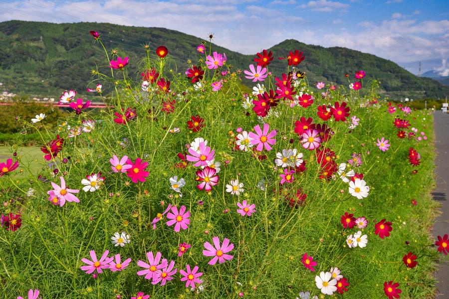 一部で開花が進んできている所も