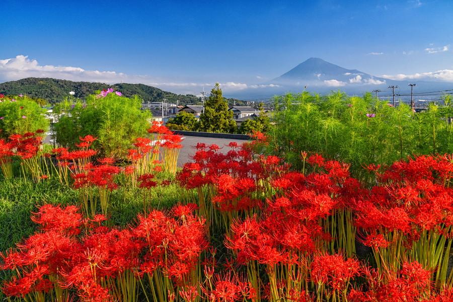 土手沿いに咲き誇る彼岸花と富士山の風景