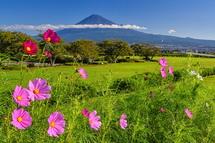 徐々に開花が進む雁堤のコスモスと富士山の風景