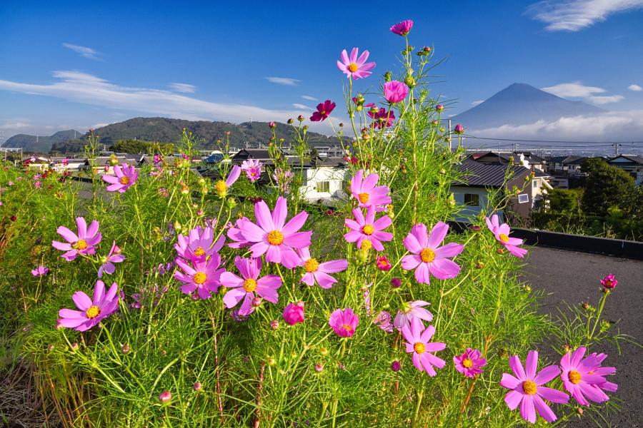 台風から回復してきた雁堤のコスモスと富士山の風景