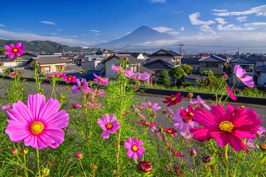 見頃になりつつある東側土手のコスモスと富士山