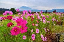 見頃のピークを迎えた雁堤のコスモスと富士山の風景
