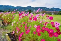 土手沿いに咲き誇るコスモスの花