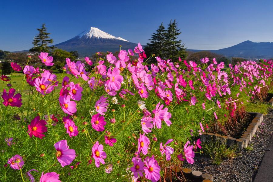 見頃が続くコスモスと冬の装いとなった富士山の風景