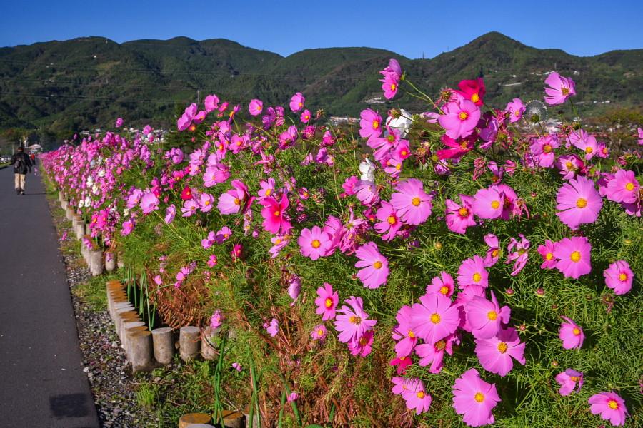 咲き誇る土手沿いのコスモス