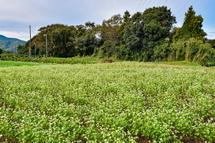 新東名高速道路の近くの丘陵地にあるそば畑