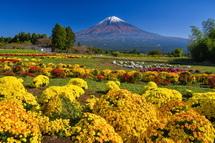 白糸自然公園のぼさ菊