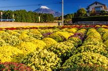 富士市神戸・今宮の畑のぼさ菊