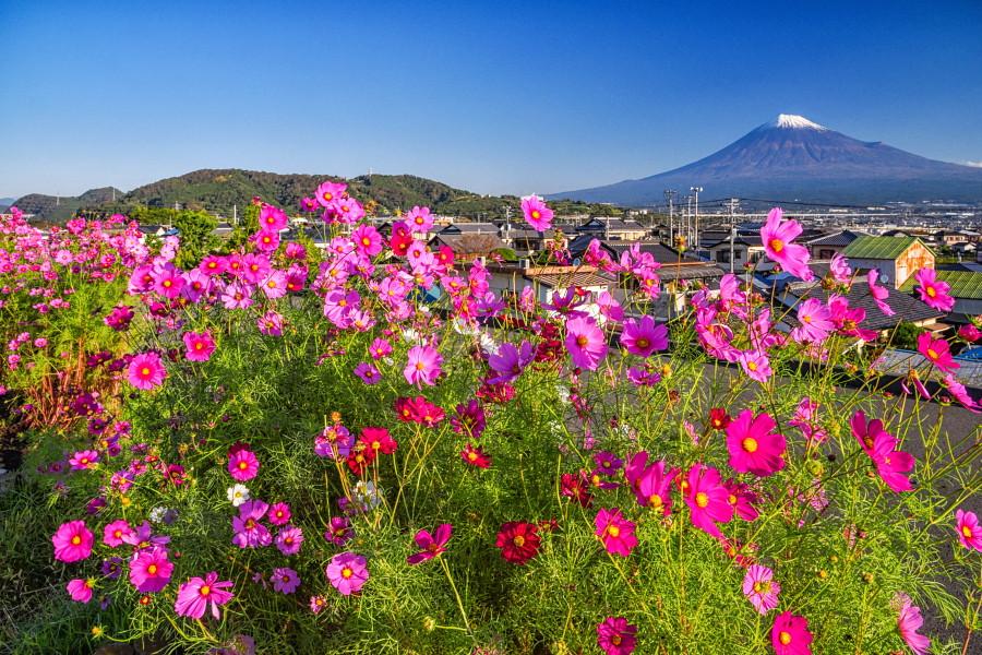 まだまだ見頃が続く雁堤のコスモスと富士山の風景