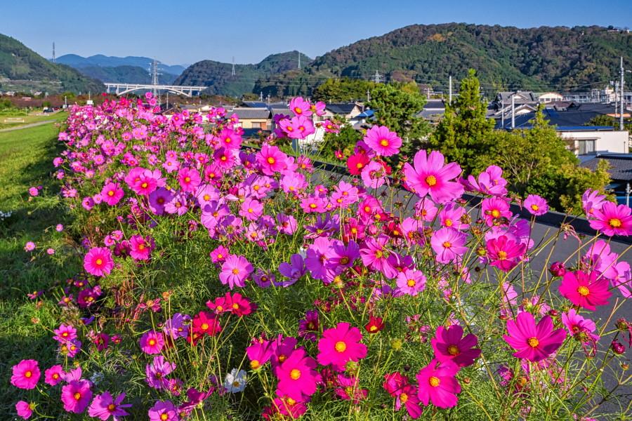 咲き誇る花を楽しみながら土手沿いを散策できる