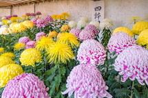 富知六所(三日市)浅間神社の菊花展
